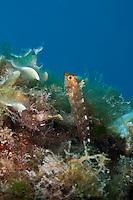 Yellow triplefin male (Tripterygion delaisi) Larvotto Marine Reserve, Monaco, Mediterranean Sea<br /> Mission: Larvotto marine Reserve