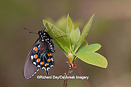 03004-01111 Pipevine Swallowtail (Battus philenor) male in Marion Co., IL