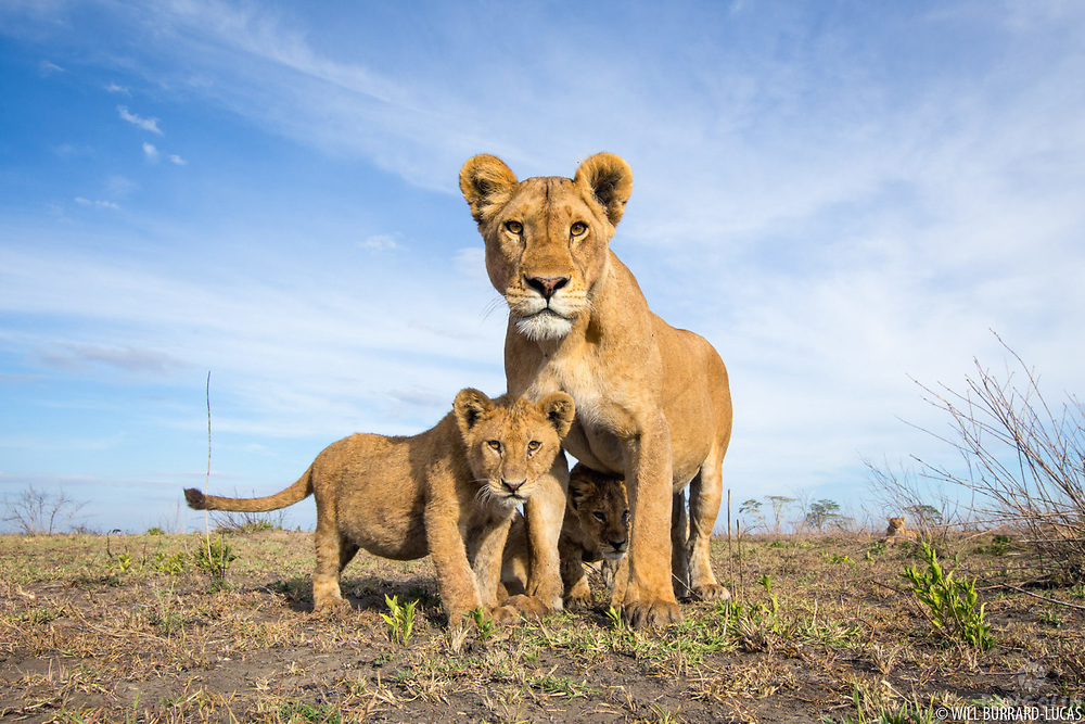 Lion (Panthera leo)  Serengeti National Park, Tanzania. Photographed with BeetleCam.