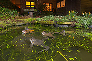 Common frogs (Rana temporaria) spawning in a garden pond. Manchester, UK.