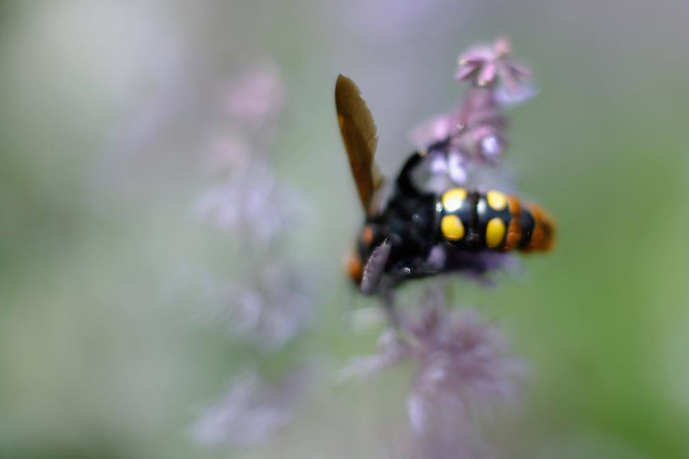 Giant or Mammoth wasp, Megascolia flavifrons, (Hymenoptera, Scolioidea, Scoliidae). Female. Detail of distinctive abdomen 4 yellow warning colour spots.<br /> Stenje region, Lake Macro Prespa (850m) <br /> Galicica National Park, Macedonia, June 2009<br /> Mission: Macedonia, Lake Macro Prespa /  Lake Ohrid, Transnational Park<br /> David Maitland / Wild Wonders of Europe