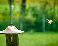 Ruby-throated Hummingbird. Image taken with a Nikon D850 camera and 200 mm f/2 lens