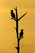 Double crested Cormorants - Phalacrocorax auritis