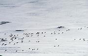 Reindeer Rangier tarandus in snowy landscape, white