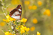 Southern White Admiral butterfly (Limenitis reducta). Photographed in Israel in April - Underside