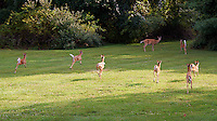 Seven Fawns Running and the Den Mother Doe in My Backyard. Summer Nature in New Jersey. Image taken with a Nikon D700 and 28-300 mm VR lens (ISO 200, 72 mm, f/5.6, 1/200 sec).