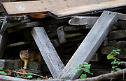 V is for weasel | Long-tailed weasel hunts for chipmunks in reclaimed wood pile in Montana