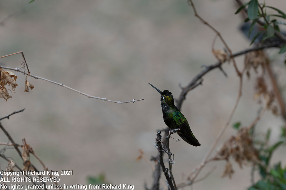 Photograph of a Magnificent Hummingbird in Madera Canyon showing flourescent green and blue AZ