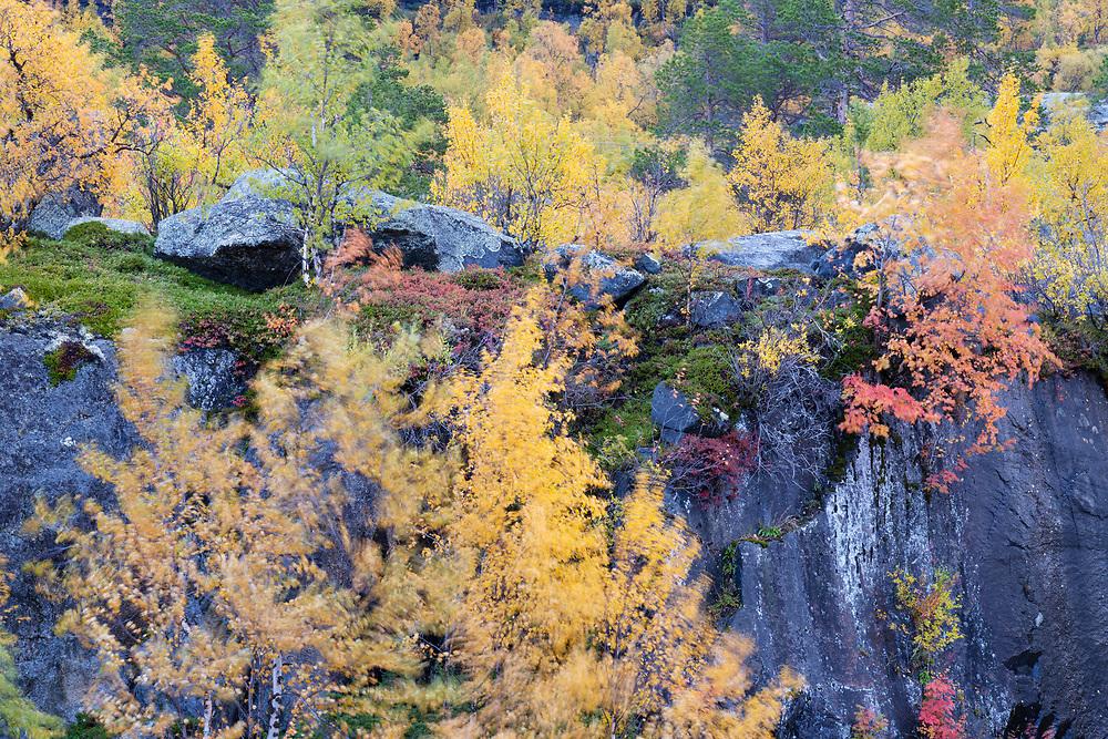 Autumn coloured mountain birchtrees, Betula poubescens var, tortuosa, Stora Sjoefallet National Park, Laponia Unesco World Heritage Site, Norrbotten, Lapland, Sweden