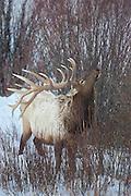 Bull elk number 10 on winter range in Yellowstone