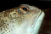 Close up of the head of a great weever fish (Trachinus draco) showing the distinctive upturned mouth. Sea life centre in Rovinj, Croatia