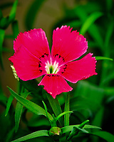 AeroGarden Farm 03-Right. Dianthus Flower. Image taken with a Fuji X-T3 camera and 80 mm f/2.8 macro lens (ISO 160, 80 mm, f/5.6, 1/125 sec).
