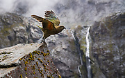 New Zealand's Kea are the only alpine parrot found on planet earth. It is protected in part by the remote environment of the South Island's high alpine regions. A primary danger this endangered species faces is a result of its curious nature seeking out human interaction. These interactions can, and do, result in parrots being struck by cars and also historically being illegally poached by ranchers attempting to protect high country sheep herds. Photo taken on Milford Road, Fiordland National Park, New Zealand.