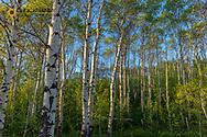 Aspen grove with spring growth near East Glacier, Montana, USA