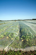 Field of turnips covered by fleece, Hollesley, Suffolk, England