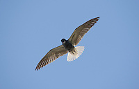 Black tern (Chlidonias niger) in flight. Lithuania. Mission: Lithuania, May 2009.
