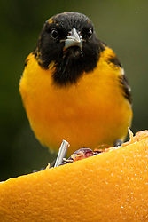 Baltimore Oriole (Icterus galbula) perches on a Shepard's hook and an orange to get a free meal in a day filled with a rainy mist.