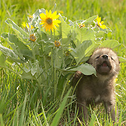 Gray Wolf (Canis lupus) pup next to Balsam Arrowroot flowers during the spring in Montana. Captive Animal