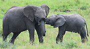 A young African elephant (Loxodonta  africana), encourages a young relative to play. Serengeti National Park, Tanzania.