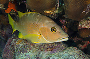 Schoolmaster (Lutjanus apodus)<br /> BONAIRE, Netherlands Antilles, Caribbean<br /> HABITAT & DISTRIBUTION: Above reefs around large coral structures.<br /> Florida, Bahamas, Caribbean, Gulf of Mexico, Bermuda, north to Massachusetts,  south to Brazil & east Atlantic.