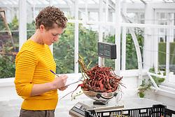 Kelly weighing sweet potatoes