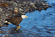 An adult bald eagle (Haliaeetus leucocephalus) calls out, warning other birds not to attempt to steal its spawned-out chum salmon, which it is feeding on in the Nooksack River near Deming, Washington.