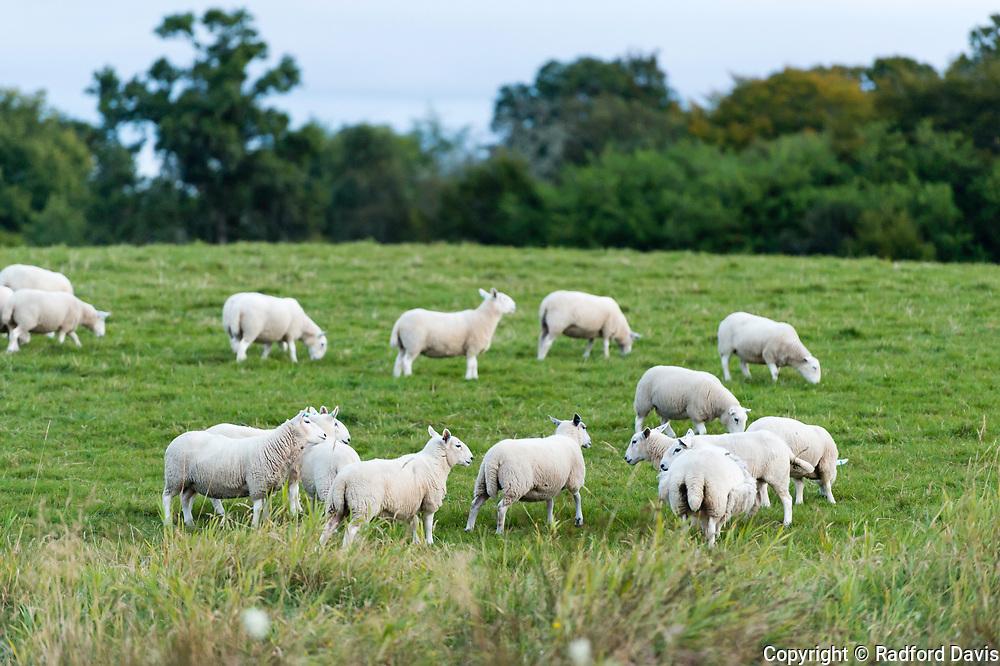 Sheep in Oban, Scotland