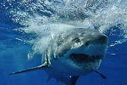 GREAT WHITE SHARK DIVING IN GUADALUPE