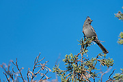 photograph of a female Phainopepla sitting on a Juniper Tree branch