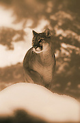 Image of a mountain lion, cougar, puma concolor, in Montana in the snow, Pacific Northwest (toned black & white photo-illustration) by Randy Wells