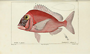 Pagellus from Histoire naturelle des poissons (Natural History of Fish) is a 22-volume treatment of ichthyology published in 1828-1849 by the French savant Georges Cuvier (1769-1832) and his student and successor Achille Valenciennes (1794-1865).