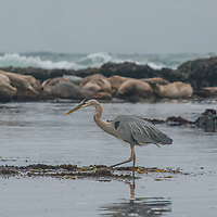 A Great Blue Heron (Ardea herodias) fishes for minnows in Pacific Ocean tide pools at Fitzgerald Marine Reserve near Moss Beach, California. Behind it, Harbor Seals sleep on rocks.