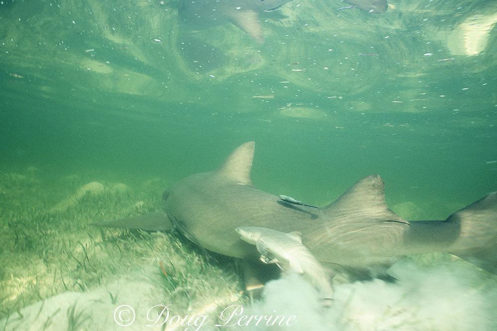 lemon shark, Negaprion brevirostris, swims through shallow lagoon, dropping a litter of pups, Bimini, Bahamas ( Western Atlantic Ocean )