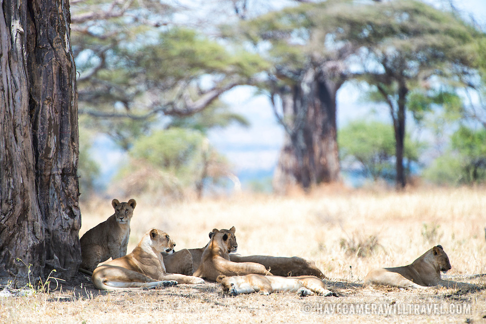 Resting in the shade of a tree, a pride of several lions escapes the midday sun at Tarangire National Park in northern Tanzania not far from Ngorongoro Crater and the Serengeti.