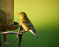 American Goldfinch. Image taken with a Nikon D5 camera and 600 mm f/4 VR lens (ISO 1400, 600 mm, f/5.6, 1/1250 sec).