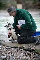 Humboldt Penguins at the ZSL London Zoo Annual Stocktake in London, England. Thursday 2nd January 2020