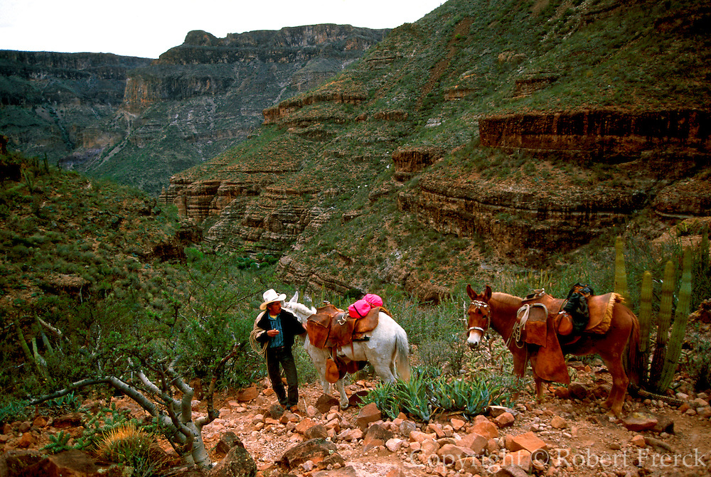 MEXICO, BAJA CALIFORNIA mule train in San Pablo Canyon