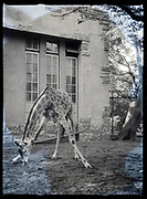 giraffe in the zoo Japan ca 1960s