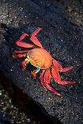 A Sally Lightfoot crab on volcanic rock, North Fernandina Island, Galapagos, Ecuador, South America