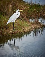 Great Egret. Black Point Wildlife Drive, Merritt Island National Wildlife Refuge. Image taken with a Nikon D3s camera and 80-400 mm VR lens (ISO 200, 400 mm, f/5.6, 1/1000 sec).