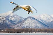 Japanese Whooper swan in flight (Cygnus cygnus) over snowy mountains, Lake Kussharo, Hokkaido, Japan