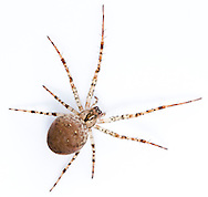 Metellina merianae. A common orb spider occupying shady microhabitats in all sorts of places. It is usually nocturnal, hiding away from its web in the daytime.