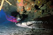diver and great barracuda, Sphyraena barracuda, Saba Island, Netherlands Antilles, ( Eastern Caribbean Sea )   MR 95
