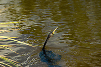 """Because the anhinga lacks the oils for buoyancy in its feathers like other birds, and it has a heavier skeleton than other diving birds, the swimming anhinga is completely submerged except for its head and long flexible neck, earning it the common nickname, """"snakebird."""" This one was spotted in a bream-rich lake in Fort Myers, Florida."""