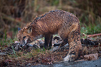 Red fox on the side of the road with a road-killed deer. Late Autumn Nature in New Jersey. Image taken with a Nikon D810a camera and 80-400 mm VRII lens (ISO 1000, 400 mm, f/5.6, 1/400 sec).