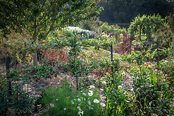 Bed in the cutting garden at Chatsworth House. Cosmos, dahlias, Acidanthera bicolor 'Murielae' syn. Gladiolus 'Murielae' in the foreground with apples trained along wires and pear arch in the background.