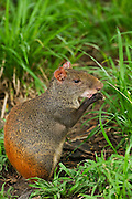 Red-rumped Agouti (Dasyprocta agouti) captive<br /> Savannah, Rupununi<br /> GUYANA<br /> South America<br /> RANGE: South America from Venezuela to Bahia, Brazil east of the Rio Negro and Rio Madeira.