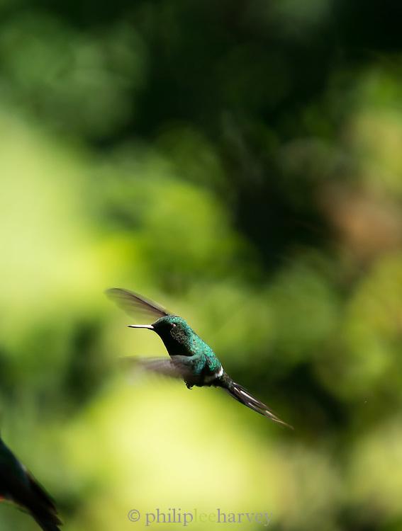 Hummingbird flying, Cloud Forest, Mashpi Reserve, Distrito Metropolitano de Quito, Ecuador