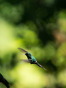 Hummingbird flying, Cloud Forest, Mashpi Reserve, Distrito Metropolitano de Quito, Ecuador