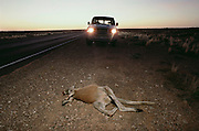 Roadkill kangaroo along the Stuart Highway, south of Glendambo. South Australia during the Pentax Solar Car Race. Kangaroo jumped in front of this Toyota Landcruiser just before dawn and was killed. The Toyota's front end is protected by a Roo-Guard, just for this reason.